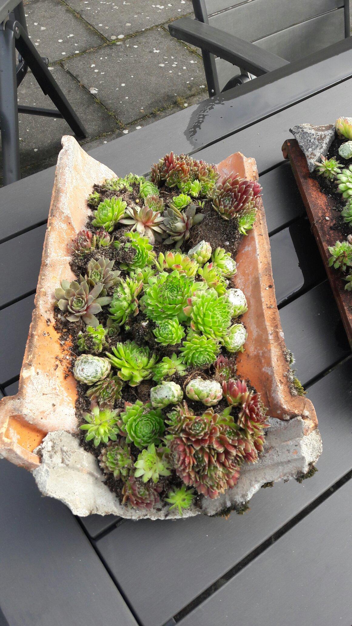 Dachrosen Dachwurz Hauswurz im Holzkorb